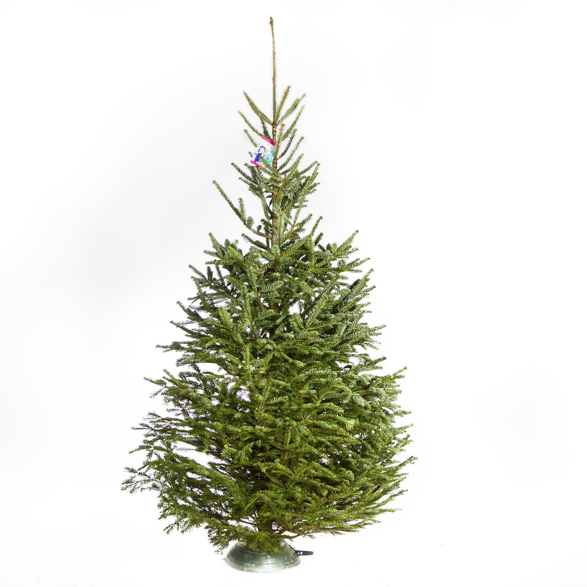 Bio Weihnachtsbaum Prima